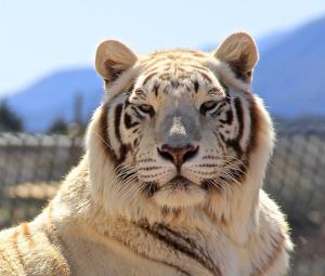 Mary Barany - White Tiger